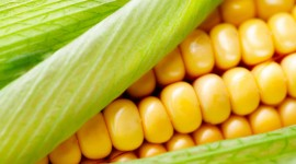 Sweet Corn Wallpaper For PC