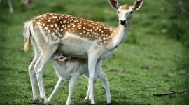 4K Deer Photo