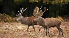4K Deer Pics