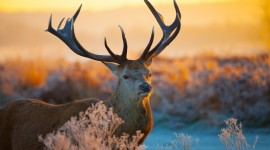 4K Deer Wallpaper Download
