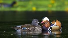 4K Duck Photo Free