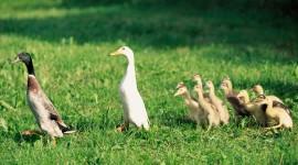 4K Duck Photo#1