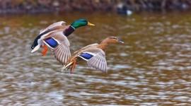 4K Duck Photo#2