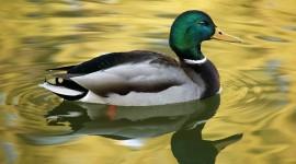 4K Duck Photo#3
