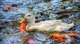 4K Duck Wallpaper Download Free