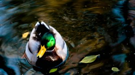 4K Duck Wallpaper Gallery