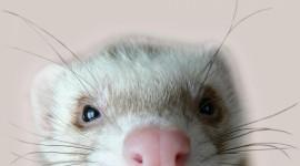 4K Ferret Desktop Wallpaper For PC