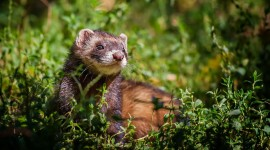 4K Ferret Photo Free