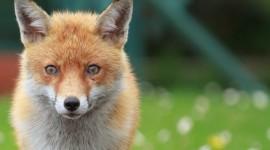 4K Fox Photo