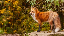 4K Fox Photo Download