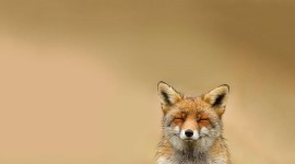 4K Fox Photo Free