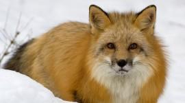 4K Fox Photo#1