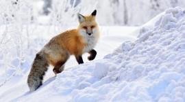 4K Fox Photo#2