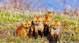 4K Fox Pics
