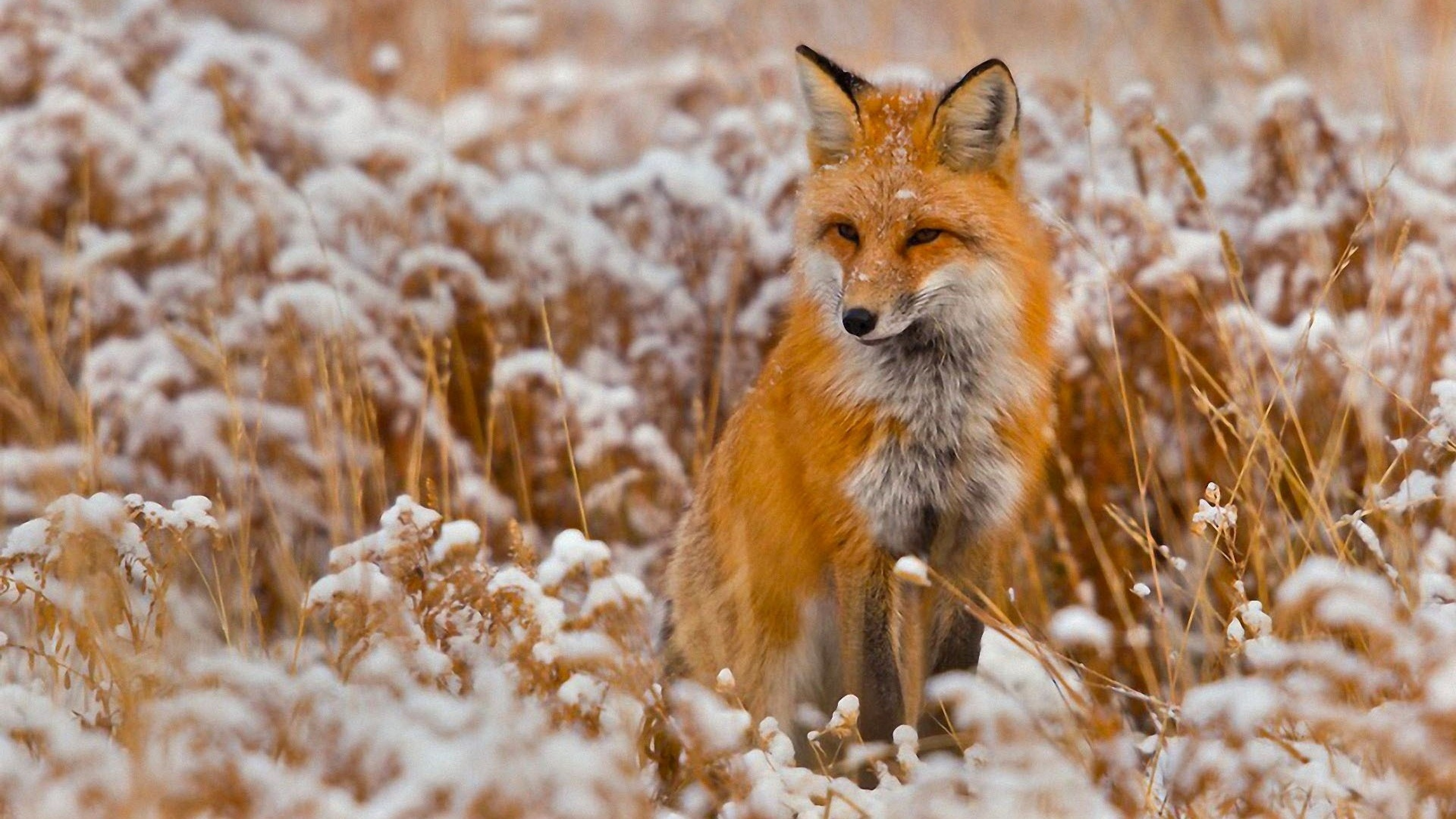 4K Fox Wallpapers High Quality  Download Free