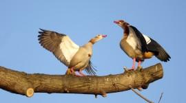 4K Geese Photo Free