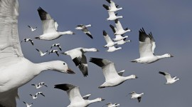 4K Geese Wallpaper