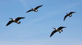 4K Geese Wallpaper For Desktop