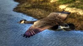 4K Geese Wallpaper Full HD