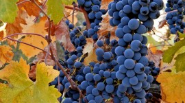 4K Grapes Photo Download