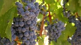 4K Grapes Photo Free#1