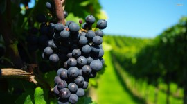 4K Grapes Photo#1