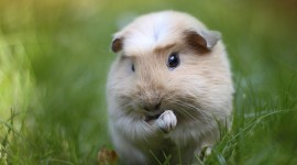 4K Guinea Pig Best Wallpaper