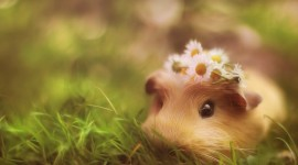 4K Guinea Pig Desktop Wallpaper For PC