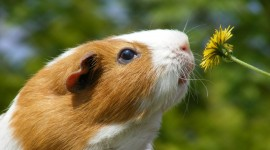 4K Guinea Pig Photo
