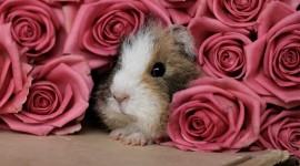 4K Guinea Pig Photo Free