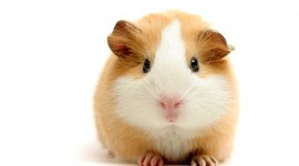 4K Guinea Pig Photo#1