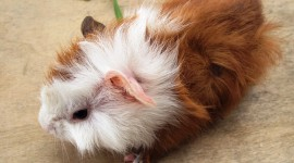 4K Guinea Pig Photo#2
