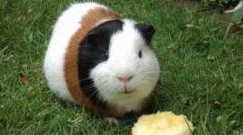 4K Guinea Pig Photo#3
