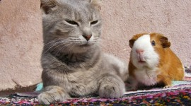 4K Guinea Pig Pics