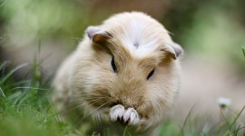 4K Guinea Pig Wallpaper Download Free