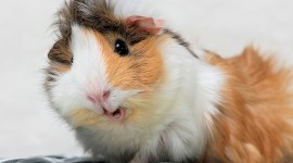 4K Guinea Pig Wallpaper For Desktop