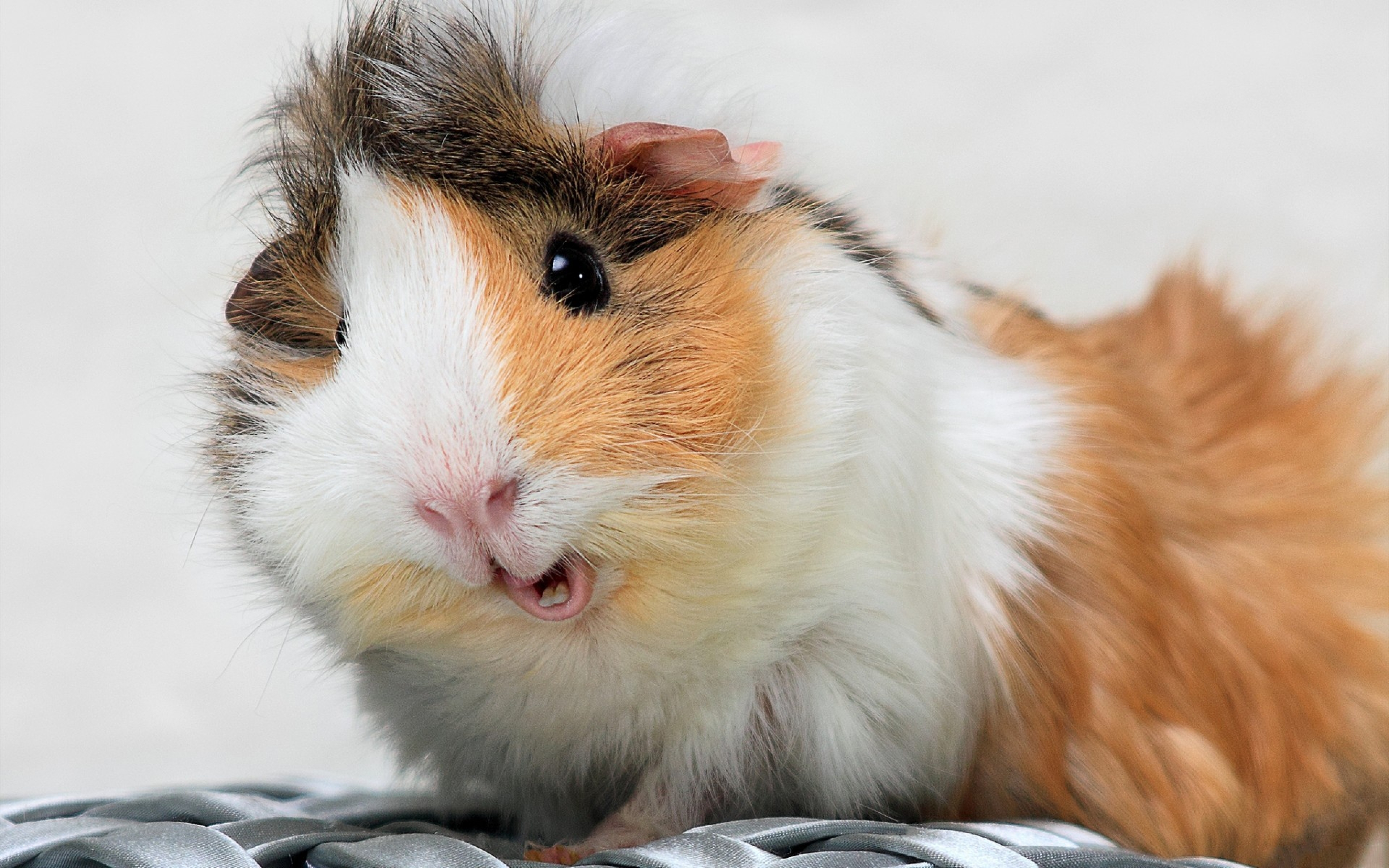 4k guinea pig wallpapers high quality download free