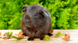 4K Guinea Pig Wallpaper Free