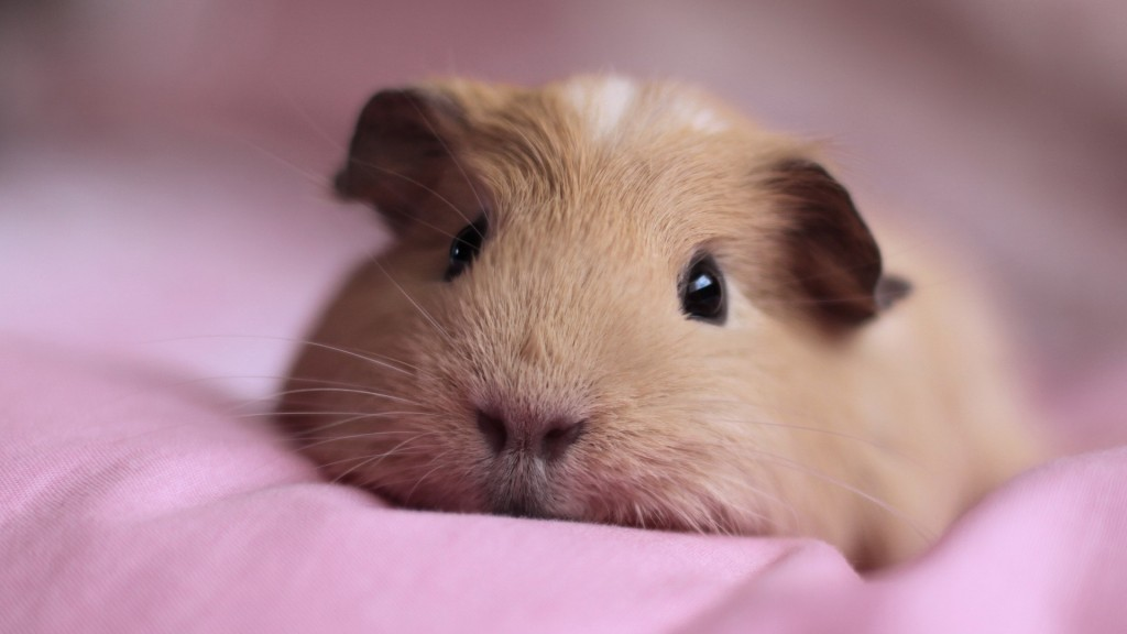 4K Guinea Pig wallpapers HD