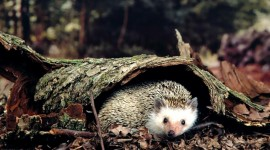4K Hedgehogs Photo Download