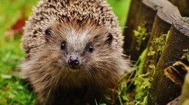 4K Hedgehogs Photo Free
