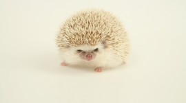 4K Hedgehogs Photo#1