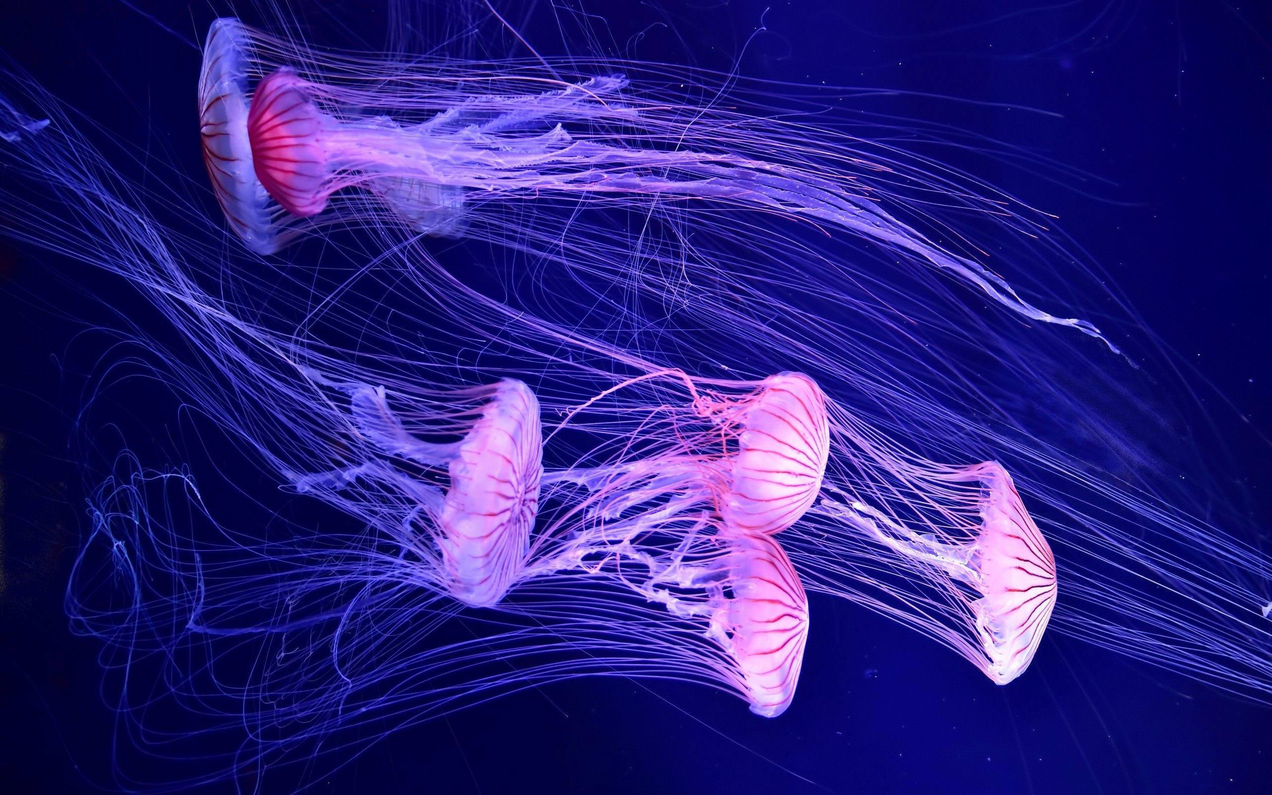 4k jellyfish wallpapers high quality download free - Jellyfish hd images ...
