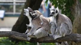 4K Lemur Best Wallpaper