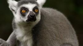 4K Lemur Desktop Wallpaper