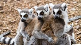 4K Lemur Photo