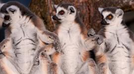 4K Lemur Photo Download