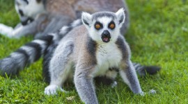 4K Lemur Photo Free