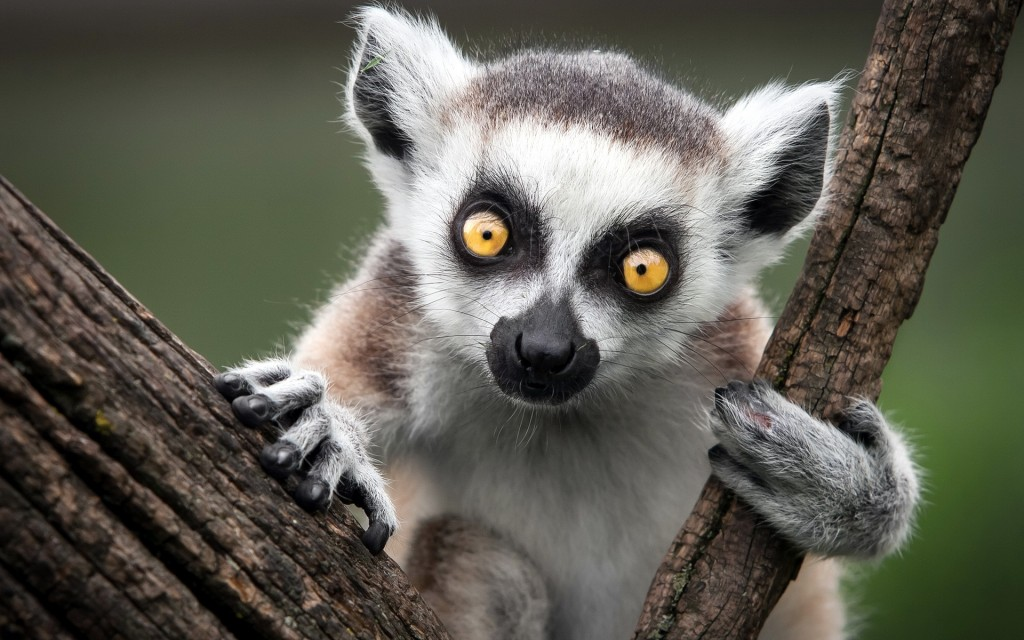 4K Lemur wallpapers HD
