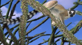 4K Lemur Wallpaper 1080p